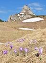 Açafrão em montanhas de Ciucas Fotografia de Stock Royalty Free