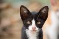 Aanbiddelijke foto van zwart witte jonge kat Stock Afbeeldingen