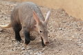 Aardvark the on the rocky soil Royalty Free Stock Photography