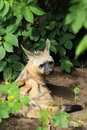 Aardwolf lying in the soil Stock Images