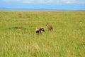 Aardwolf seeking and grasslands in africa Stock Photo