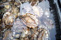 Abalone fresh seafood sold in the market is one of the seafood is very delicious Royalty Free Stock Photos