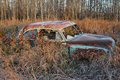 Abandoned car an antique in a grassy field in fall wild raspberries growing around and in frost on the and vegetation Royalty Free Stock Photo