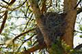 Abandoned empty eagle's nest among the pine tree branches Royalty Free Stock Photo
