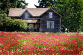 Abandoned homestead a weathered old family home sits in a field of red clover shallow depth of field Royalty Free Stock Photo