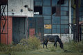 Abandoned horse this was an old deserted shipyard with lost of wild horses sheltering inside the buidings Stock Photos