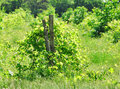 Abandoned vineyard Royalty Free Stock Image