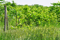 Abandoned vineyard Royalty Free Stock Photo