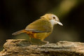 Abbott's Babbler Royalty Free Stock Photos