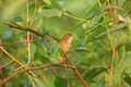 Abbott s babbler malacocincla abbotti in nameri national park assam india Royalty Free Stock Image