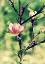 Abloom flower of magnolia tree in summertime Stock Images
