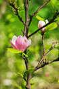Abloom flower of magnolia tree in summertime Stock Photography