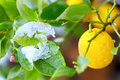 Abnormal weather for tropical lemon plant tree Stock Photo