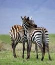 Abraço da zebra Imagens de Stock Royalty Free