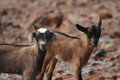 Absolutely Cute Pair of Two Baby Goats Royalty Free Stock Photo