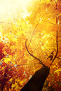 Abstract autumn nature background with maple tree leaves colorful in forest sunny day in outdoor park Royalty Free Stock Photo