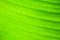 Abstract background  of banana leaf texture blur Royalty Free Stock Photo