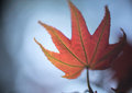 Abstract background  - Closeup of red maple leaf on blue sky Royalty Free Stock Photo