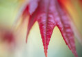 Abstract background  - Closeup of  red maple leaf Royalty Free Stock Photo