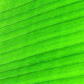 Abstract of banana leaf background Stock Photography