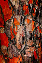 Abstract bark background the thick red brown and deeply fissured of italian stone pine Stock Photo