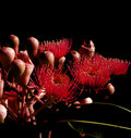 Abstract on black -  red flowers eucalyptus Royalty Free Stock Image