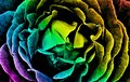 Abstract closeup of a rainbow rose Royalty Free Stock Photo