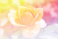 Abstract colorful background of beautiful yellow rose. Royalty Free Stock Photo