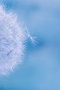 Abstract colorful dandelion seeds with shallow depth of field Royalty Free Stock Photography