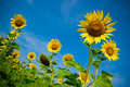 Abstract composition of sunflowers