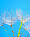 Abstract dandelion flower background Stock Images