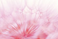 Abstract dandelion flower background, closeup with soft foc