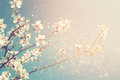 Abstract dreamy and blurred image of spring white cherry blossoms tree selective focus vintage filtered Royalty Free Stock Photos