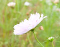 Abstract floral background soft focus summer field nature with cosmos flowers Stock Photos