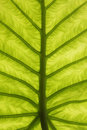 Abstract green leaf texture Royalty Free Stock Photo