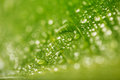 Abstract green leaf texture and water drops for background Royalty Free Stock Photo