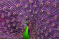 Abstract green and purple peacock a spreading its tail Stock Photo