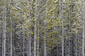 Abstract image of a dense pine tree forest Royalty Free Stock Photo