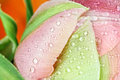 Abstract Macro of a Pink Angelique Tulip Royalty Free Stock Photo