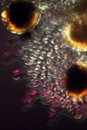 Abstract micrograph of fern sporangia looks like a face. Royalty Free Stock Photo