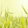 Abstract nature background blurred wheat germ Royalty Free Stock Photo
