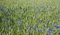 Abstract Nature, Cornflower.