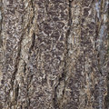 Abstract pattern of bark of older spruce tree Royalty Free Stock Photo
