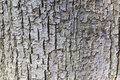 Abstract pattern of bark on tilia cordata or little leaved linde Royalty Free Stock Photo