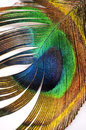 Abstract peacock feather detail macro shot of colorful isolated on white Stock Images