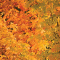 Abstract red and golden maple leaves autumnal background, large detailed vibrant colorful autumn theme closeup Royalty Free Stock Photo