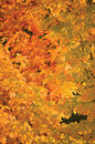 Abstract red and golden maple leaves, vertical autumnal background, large detailed vibrant colorful autumn theme closeup Royalty Free Stock Photo