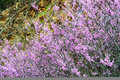 Abstract - Redbud blooms against a rock cliff. Royalty Free Stock Photo
