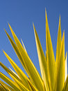 Abstract shapes made by the spiky green leaves of a yucca plant against a blue sky Stock Photography