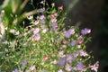 Abstract soft blurred gypsophila, babysbreath gypsophila,Gypsophila paniculata,Caryophyllaceae,flower with the dark backgroung. Royalty Free Stock Photo